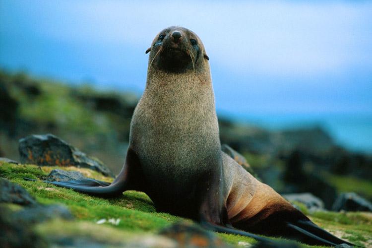 img_fur_seal